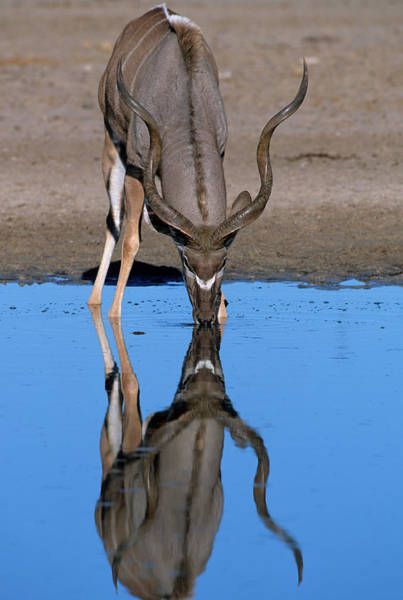 The Great Outdoors Photograph - A Kudu Bull Drinking At A Waterhole by Martin Harvey