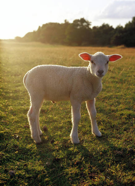 Skane Photograph - A Lamb At The Setting Of The Sun Sweden by Elliot Elliot