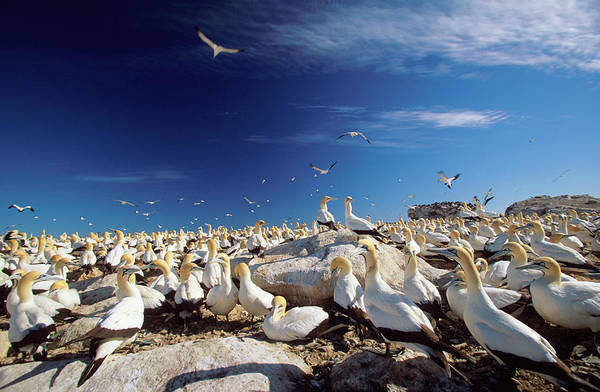 Safari Animal Photograph - A Large Colony Of Cape Gannets Roosting by Martin Harvey