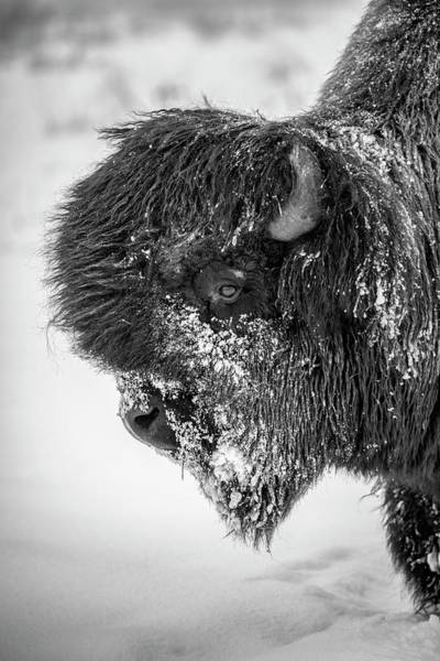 Wall Art - Photograph - A Large, Snowy Bull Wood Bison  Bison by Doug Lindstrand