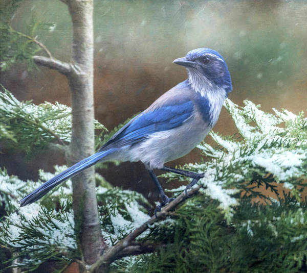 Scrub Jay Photograph - A Late Winter's Snowfall by Angie Vogel