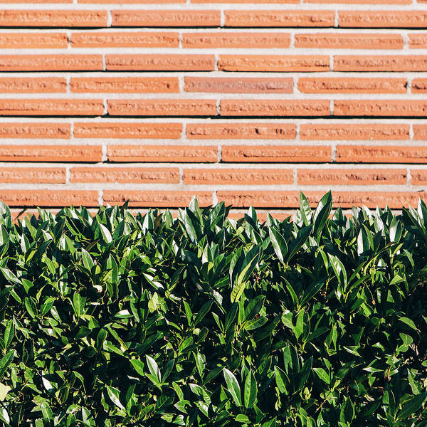 Material Photograph - A Laurel Hedge With Glossy Green Leaves by Mint Images - Paul Edmondson