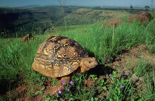 Tortoise Shell Photograph - A Leopard Tortoise Walking Through Long by Nigel Dennis