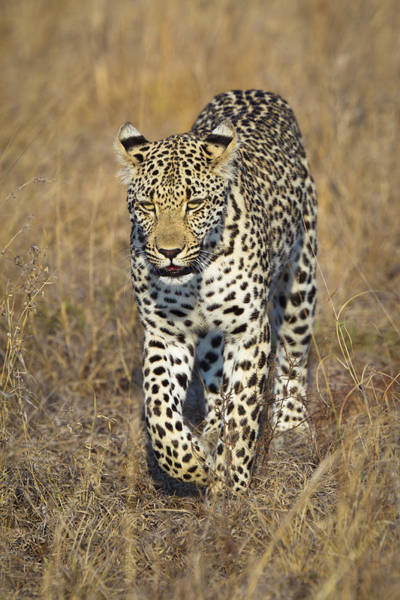 Urban Wildlife Photograph - A Leopard Walking Through Grass by Sean Russell