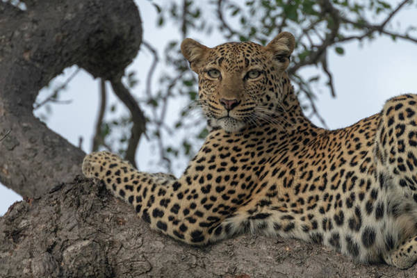 Photograph - A Leopard Gazes From A Tree by Mark Hunter