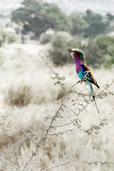 Photograph - A Lilac Breasted Roller Sings, Desaturated by Kay Brewer