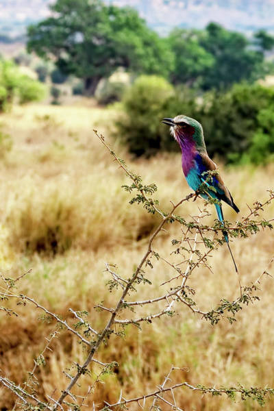 Photograph - A Lilac Breasted Roller Sings by Kay Brewer