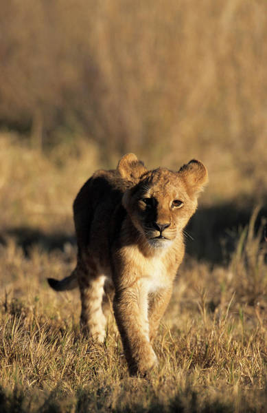 Photograph - A Lion Cub Advancing Towards The Camera by Daryl Balfour