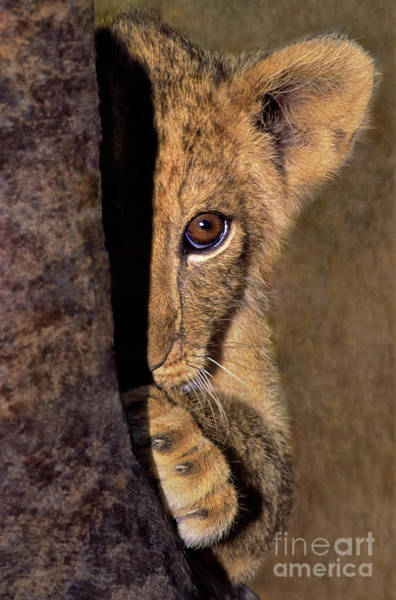 Photograph - A Lion Cub Plays Hide And Seek Wildlife Rescue by Dave Welling