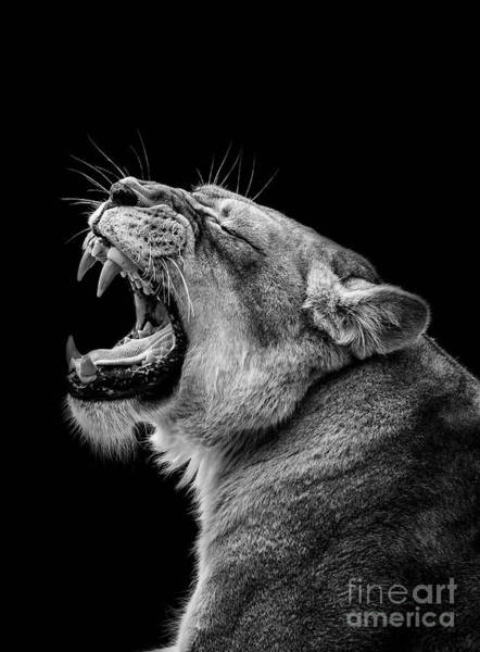 Wall Art - Photograph - A Lion Roaring by Levana Sietses