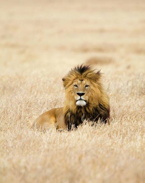 Urban Wildlife Photograph - A Lion by Sean Russell