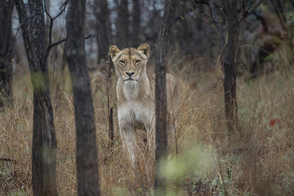 Photograph - A Lioness In The Trees by Mark Hunter
