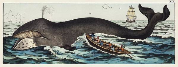 Wall Art - Painting - A Lithograph Of The Bowhead Whale From A German Natural History Series  1878  An Adorable Sperm Wha by Celestial Images