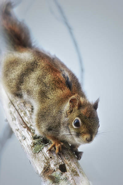 Red Squirrel Wall Art - Photograph - A Little Bit Wary by Susan Capuano