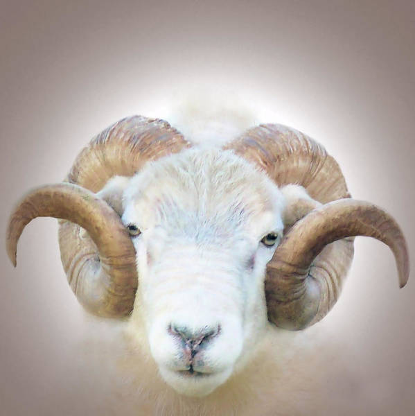 Digital Art - A Little Ram  by Valerie Anne Kelly