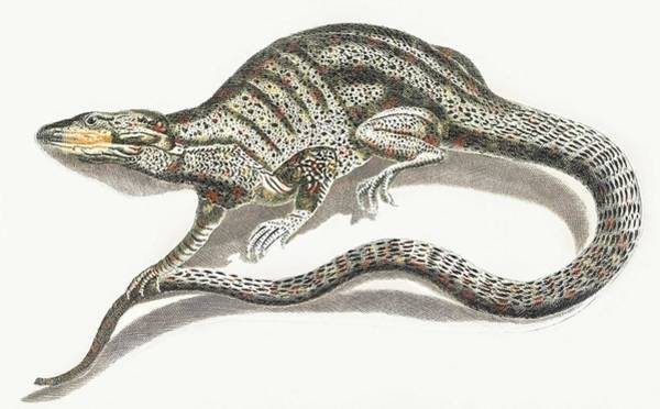 Wall Art - Painting - A Lizard By Johan Teyler  1648-1709  2 by Celestial Images
