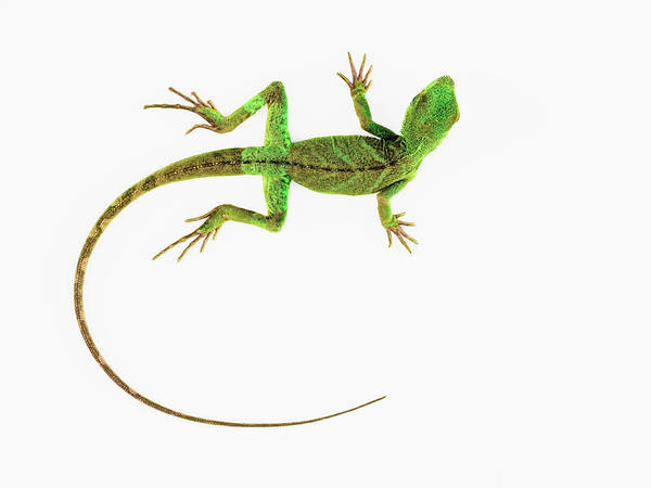 Out Of Context Photograph - A Lizard On Pure White Ground by Nicholas Cope