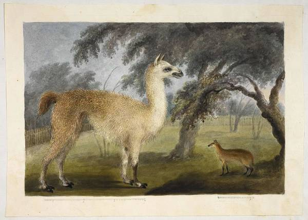 Panda Drawing Painting - A Llama And Its Young In A Park  Presumably Barrackpore by Celestial Images