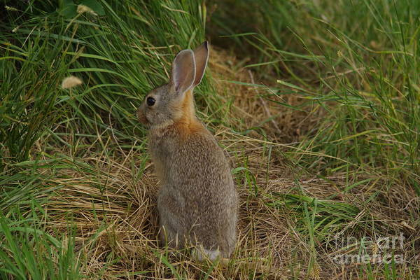 Wall Art - Photograph - A Long-eared Rabbit by Jeff Swan