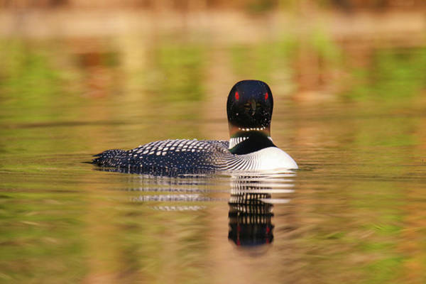 Wall Art - Photograph - A Loon Look by Brook Burling
