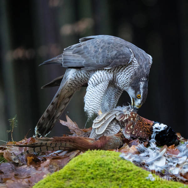 Wall Art - Photograph - A Male Goshawk Feeding On Pheasant In by Lukas Gojda
