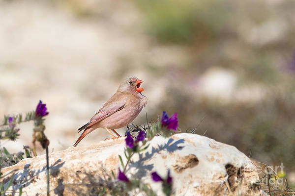 Wall Art - Photograph - A Male Trumpeter Finch Bucanetes by Andrew M. Allport