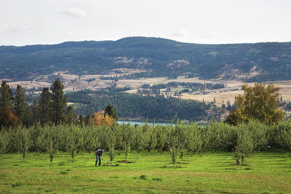 Okanagan Wall Art - Photograph - A Man Working In An Orchard In The by Benjamin Rondel / Design Pics