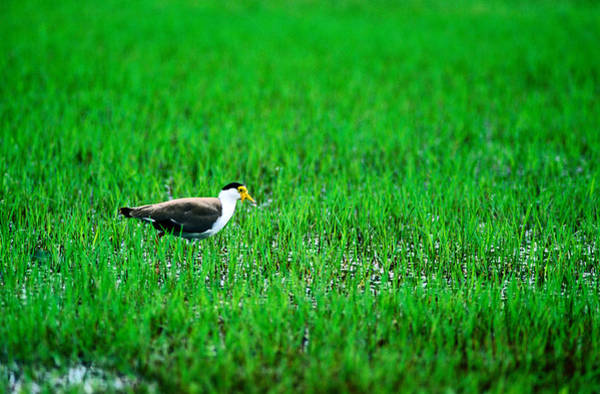 A Masked Lapwing  Vanellus Miles Art Print