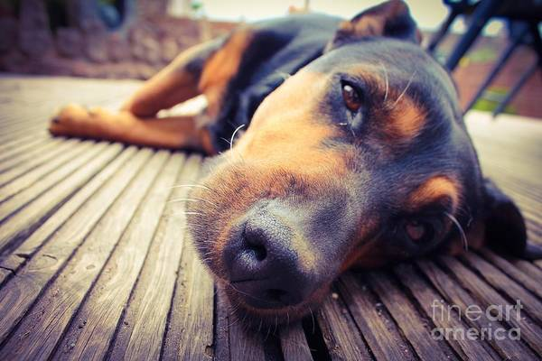 Canine Wall Art - Photograph - A Mixed Breed Dog Dozing On Wooden Deck by Jo Millington