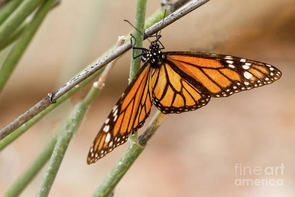 Wall Art - Photograph - A  Monarch Butterfly by Robert Bales