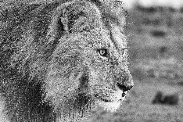 Photograph - A Monochrome Male Lion by Mark Hunter