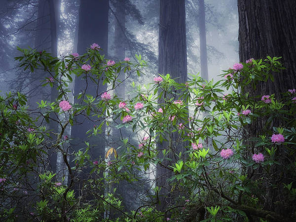 Wall Art - Photograph - A Moody Forrest California Redwoods  by Trice Jacobs