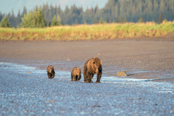 Wall Art - Photograph - A Mother Brown Bear Walks With Her Two by Brenda Tharp