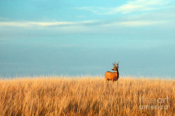 Landmark Wall Art - Photograph - A Mule Deer Buck Stands In A Tall Bed by Todd Klassy