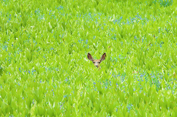 Hiding Photograph - A Mule Deer Hiding In A Field Of Wild by Mint Images - David Schultz