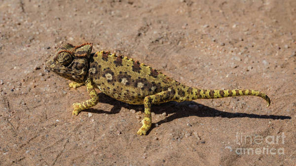 Photograph - A Namaqua Chameleon In The Namib Desert by Lyl Dil Creations