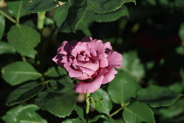 Wall Art - Photograph - A New Rose by Tom Buchanan
