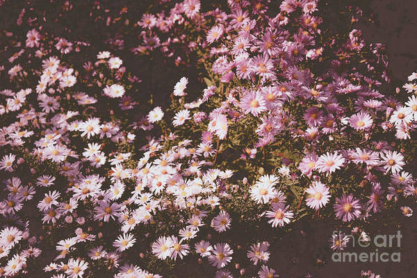 Photograph - A New York Aster Carpet by Marina Usmanskaya