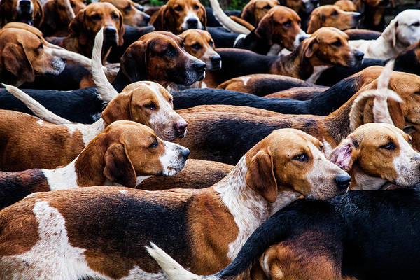 Photograph - A Pack Of Fox Hounds by Maggie McCall