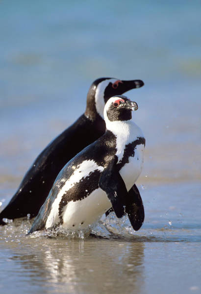 Wading Photograph - A Pair Of African Penguins Wading by Martin Harvey