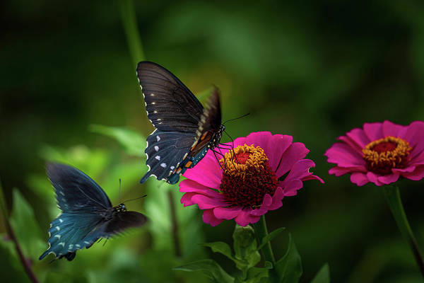 Photograph - A Pair Of Butterfiles by Allin Sorenson