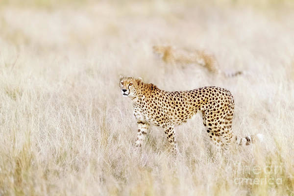 Cheetah Photograph - A Pair Of Cheetahs Move Steathily Through The Long Grass Of The  by Jane Rix