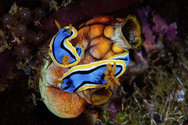 Wall Art - Photograph - A Pair Of Chromodoris Annae Nudibranch by Ethan Daniels
