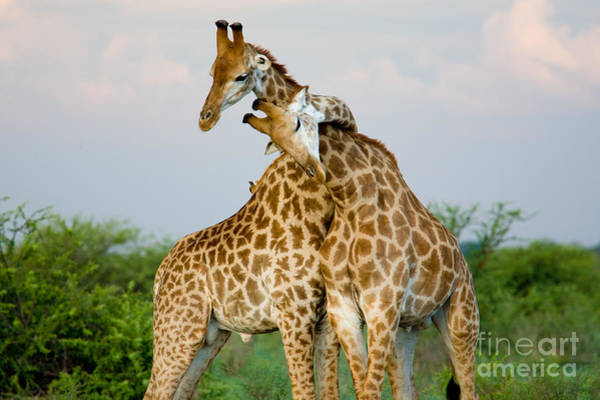 Wall Art - Photograph - A Pair Of Giraffe Entwining Their Necks by Tim booth