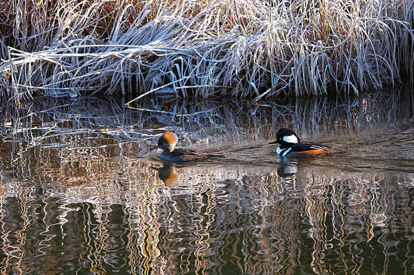 Photograph - A Pair Of Hooded Mergansers Swimming In River by Sharon Talson