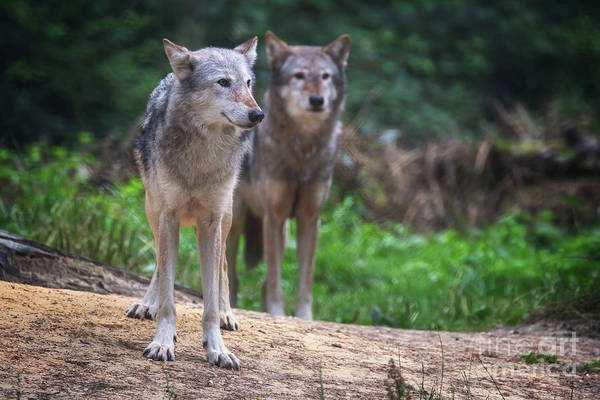 Wall Art - Photograph - A Pair Of Mackenzie Valley Wolves by Jane Rix