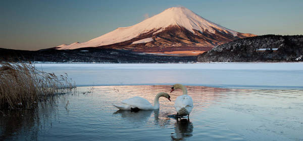 Vertebrate Photograph - A Pair Of Mute Swans In Lake Kawaguchi by Mint Images - Art Wolfe
