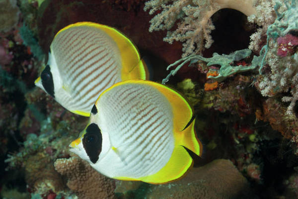 The Philippines Wall Art - Photograph - A Pair Of Panda Butterflyfish by Jeff Hunter