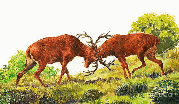 Wall Art - Painting - A Pair Of Red Deer Rutting by Eric Tansley