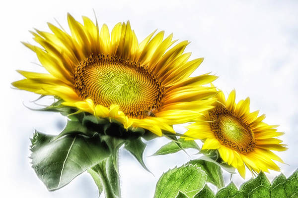 Photograph - A Pair Of Sunflowers by Wolfgang Stocker